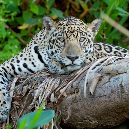 A Aliás Comunicação cria marca e identidade visual para o Projeto Bichos do Pantanal.